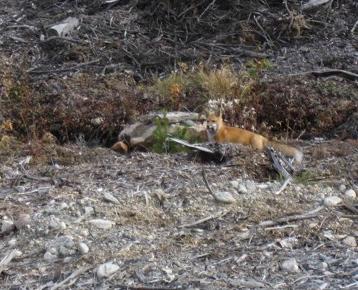 5moose-fox